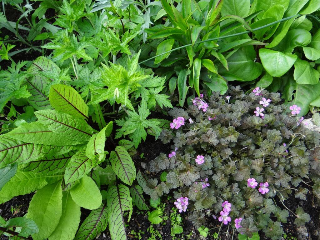 Oseille pourpre et géranium vivace Endressi