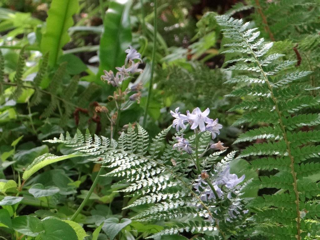 Hyacinthus orientalis Multiflora Blue et fougères