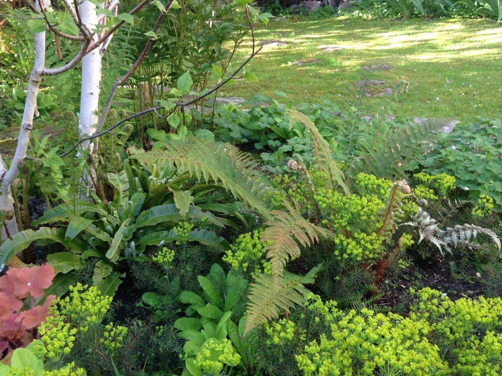 Mixte Fougère Athyrium metallicum et Asplenium scolopendrium + Euphorbia cyparissias (à droite)