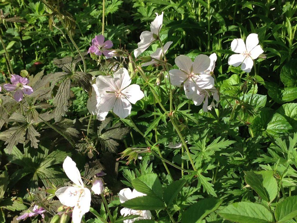 Geranium vivace Clarkei 'Kashmir White' blancs) et Espresso (feuille pourpre)